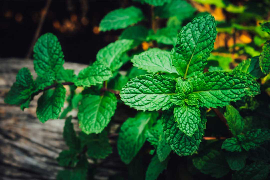 Amazing Health Benefits of Mint Leaves
